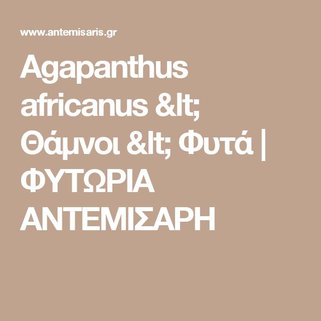 Agapanthus africanus < Θάμνοι < Φυτά | ΦΥΤΩΡΙΑ ΑΝΤΕΜΙΣΑΡΗ