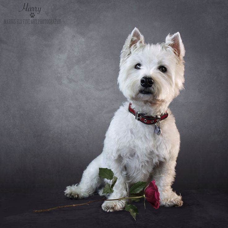Doggie Delights 4 - Harry for Valentines Day - West Highland White Terrier