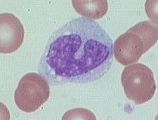 Monocyte.  Main role is phagocytosis.  Develop into macrophages in tissue.: Tissue