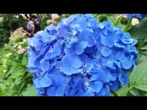 ▶ Hydrangea in Hase temple will be the best time to see soon. 長谷寺のあじさいがそろそろ見頃 - YouTube