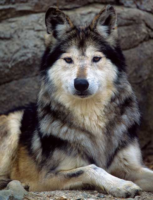 Mexican wolf (Canis lupus baileyi) [How does taxonomy change and influence conservation? Should we be looking at species level, subspecies level, populations??]