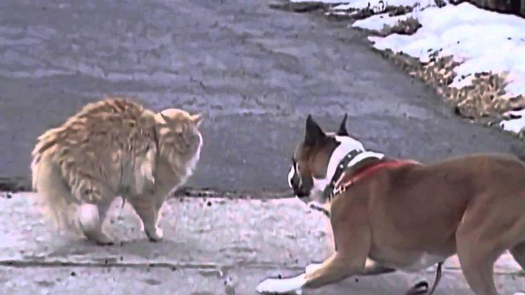 Отважный кот против собаки
