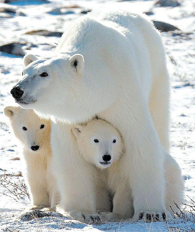 Com aquecimento global, ursos têm fartura de comida. Foto: Micheal Kirby Smith/The New York Times