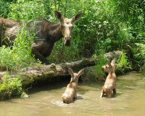 Moose cow and twin calves. Awww moment.