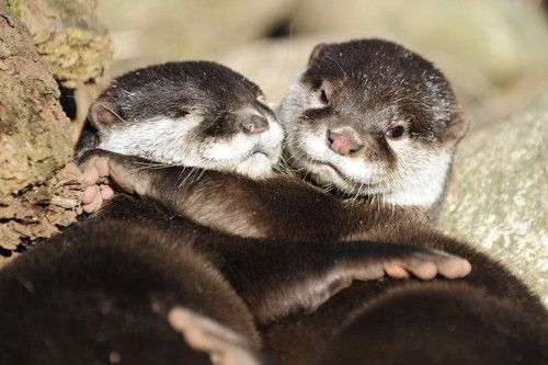 Two Asian Small-clawed Otters cuddle while sunning at the Schwarze Berge Wild Park in Hamburg, Germany on March 8.