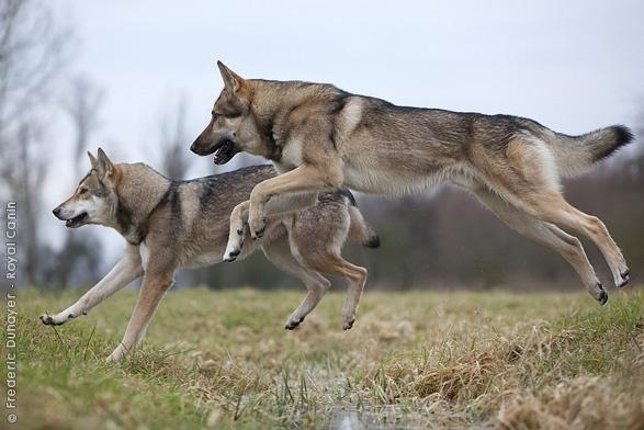 Saarlooswolfhond.