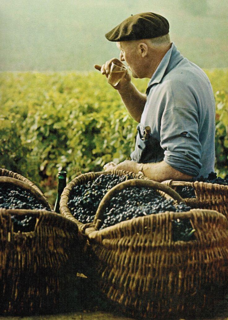 Burgundian grape picker eating grapes and drinking wine