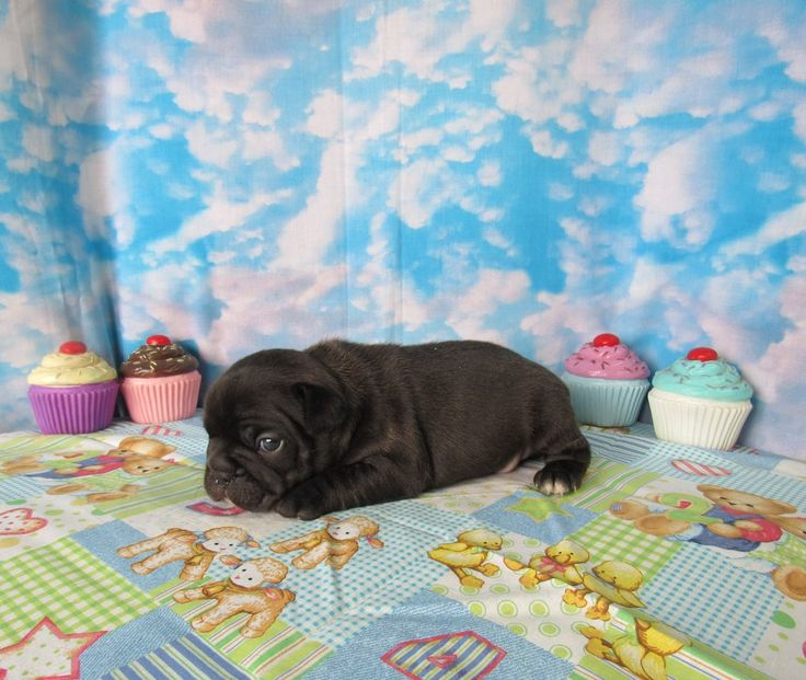 AKC CHOCOLATE FRENCH BULLDOG PUPPIES. THE SIRE IS SOLID