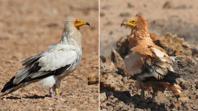 Egyptische gier gebruikt rode modder als make-up | NU - Het laatste nieuws het eerst op NU.nl