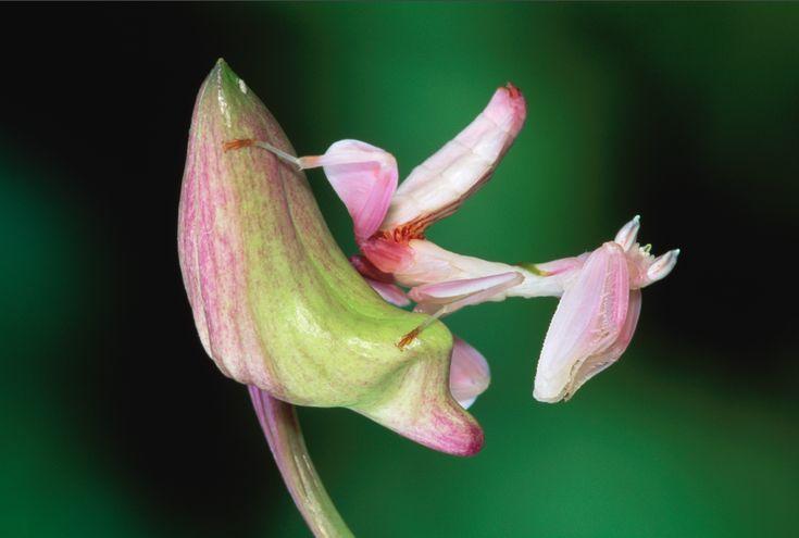 Praying Mantis Mimics Flower to Trick Prey Pictures