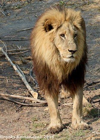 Pride of Botswana