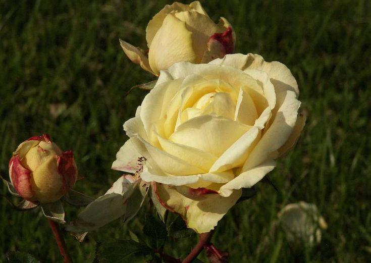 55 best images about kordes roses on pinterest shrubs. Black Bedroom Furniture Sets. Home Design Ideas