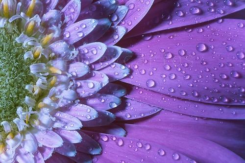 _MG_4759 Wet petals.jpg Size:5,2 MB  3888×2592