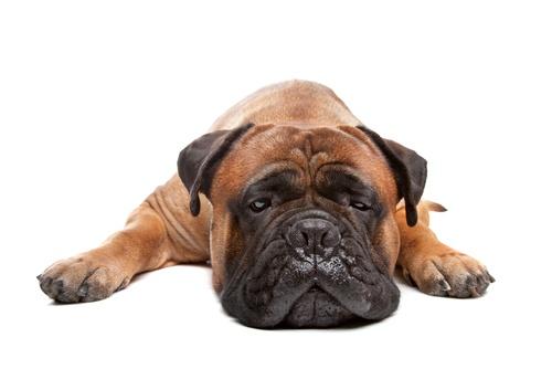 15 Razas de Perros Medianos