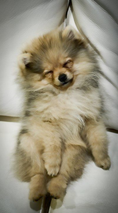 #cute #pomeranian #dog #puppy