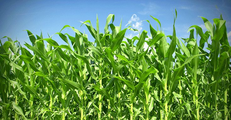 Americas corn crop may be doing more harm than good