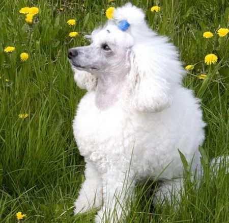 MiniDog.info приглашает вас окунуться в мир собак маленьких пород. На сайте вы познакомитесь с самыми маленькими породами собак: Чихуахуа, Йоркширский терьер, Русский той терьер, Мальтийская болонка, Китайская хохлатая собака, Той пудель, Ши-тцу, Японский хин, Померанский шпиц и другими. На форуме много полезной информации об особенностях их содержания, воспитания, питания, а также об уходе, груминге, подготовке к выставкам и многом другом. Большое количество фотографий собак и щенков…