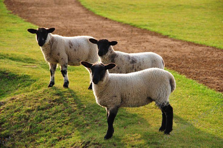 Baa Baa Black Sheep Have You Any Wool