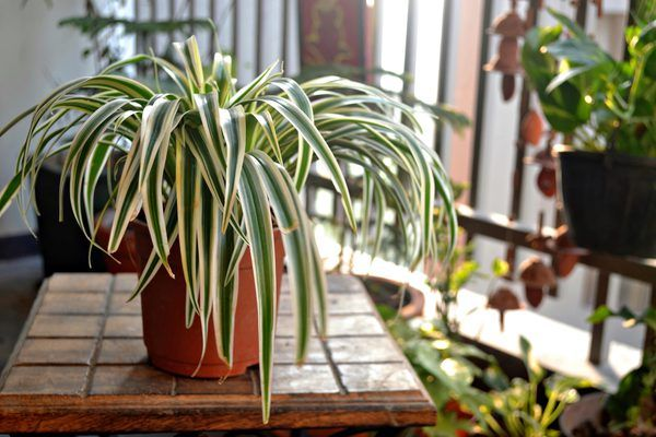 How To Rejuvinate A Spider Plant Bamboo Plants Plants Cheap Plants
