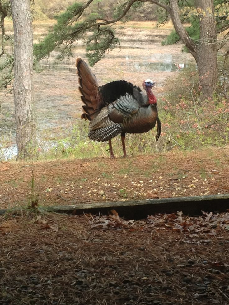 Cape Cod Wild turkey | South Simmons Pond