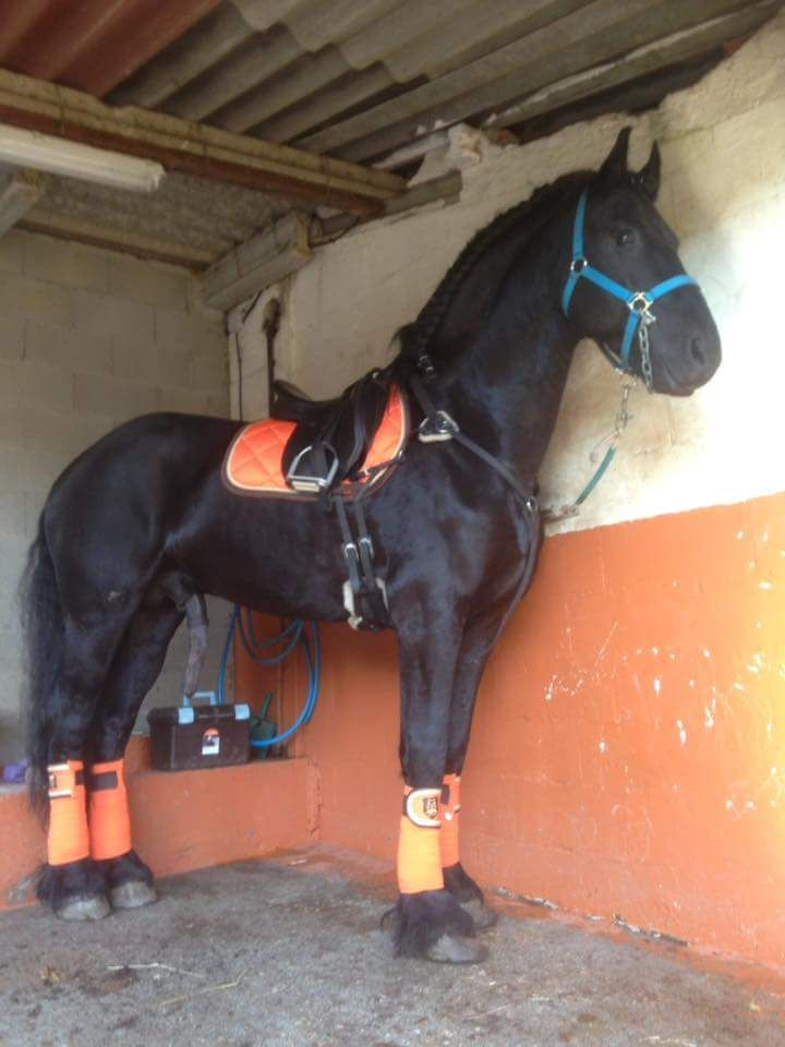 Tall Athletic Friesian horse in his stall.