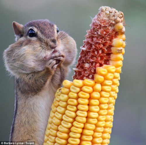 """Here's the original caption: """"A greedy chipmunk stuffs its mouth with corn on the cob. The cheeky creature pounced on the cob within minutes of photographer Barbara Lynne hanging it in her back garden in Ontario, Canada, for the birds. Barbara says: """"We call her Eleanor, however we are not sure whether she is male or female. Eleanor is always a pig and stuffs her cheeks until she looks ready to explode. She runs back to her den to empty her pouches - and starts stuffing them all over again."""""""