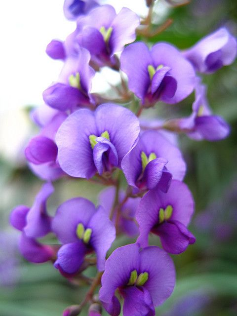Hardenbergia violacea, an Australian native vine.
