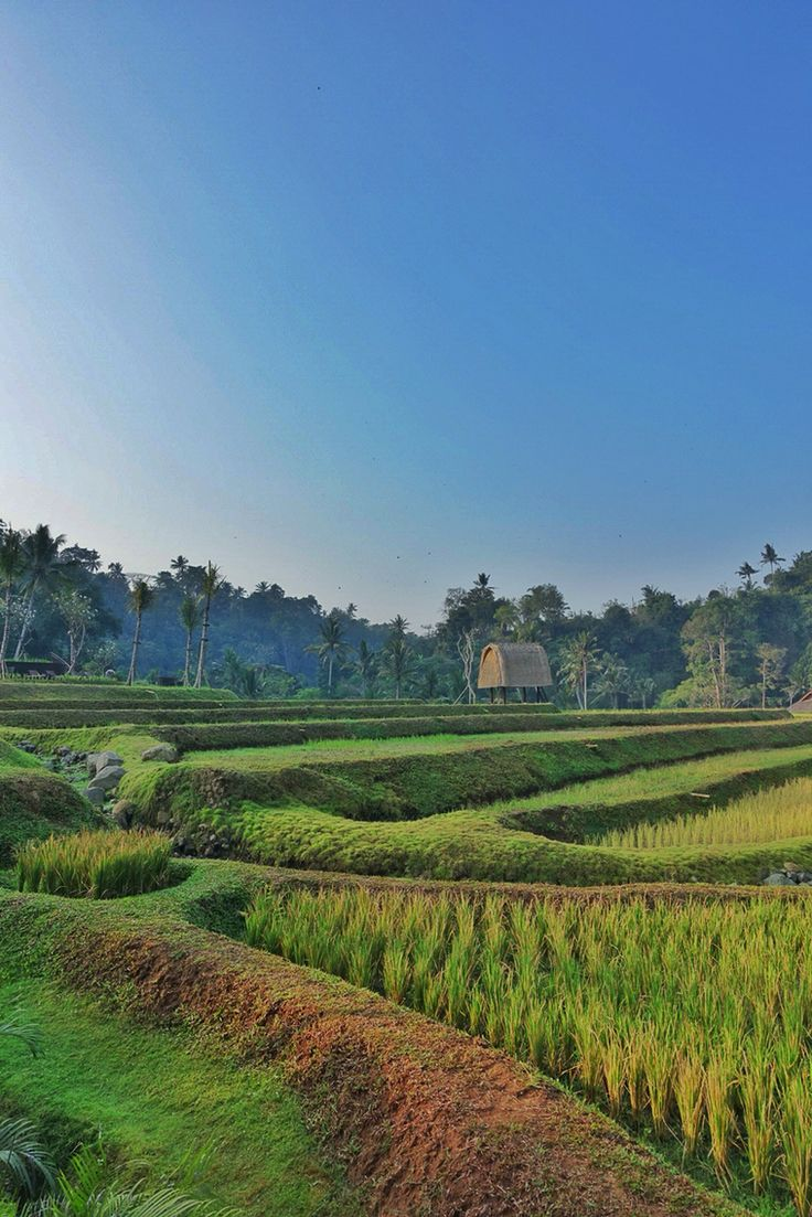The rice paddies view in the morning, from the villa at Mandapa, A Ritz-Carlton Reserve Ubud.