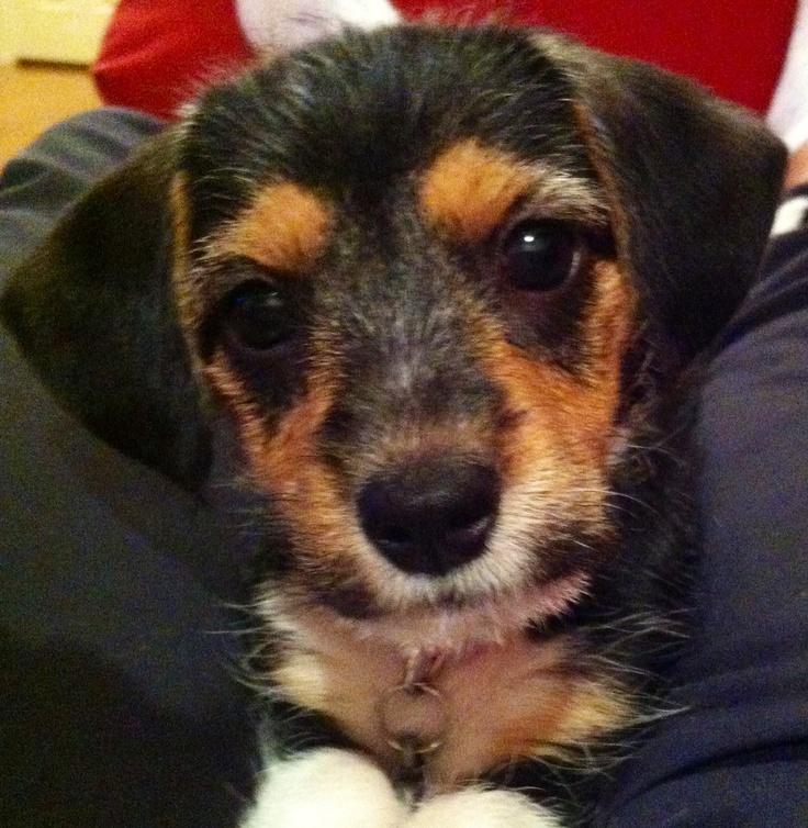 Atemberaubend Drahthaariger Terrier Yorkie Mischung Bilder ...