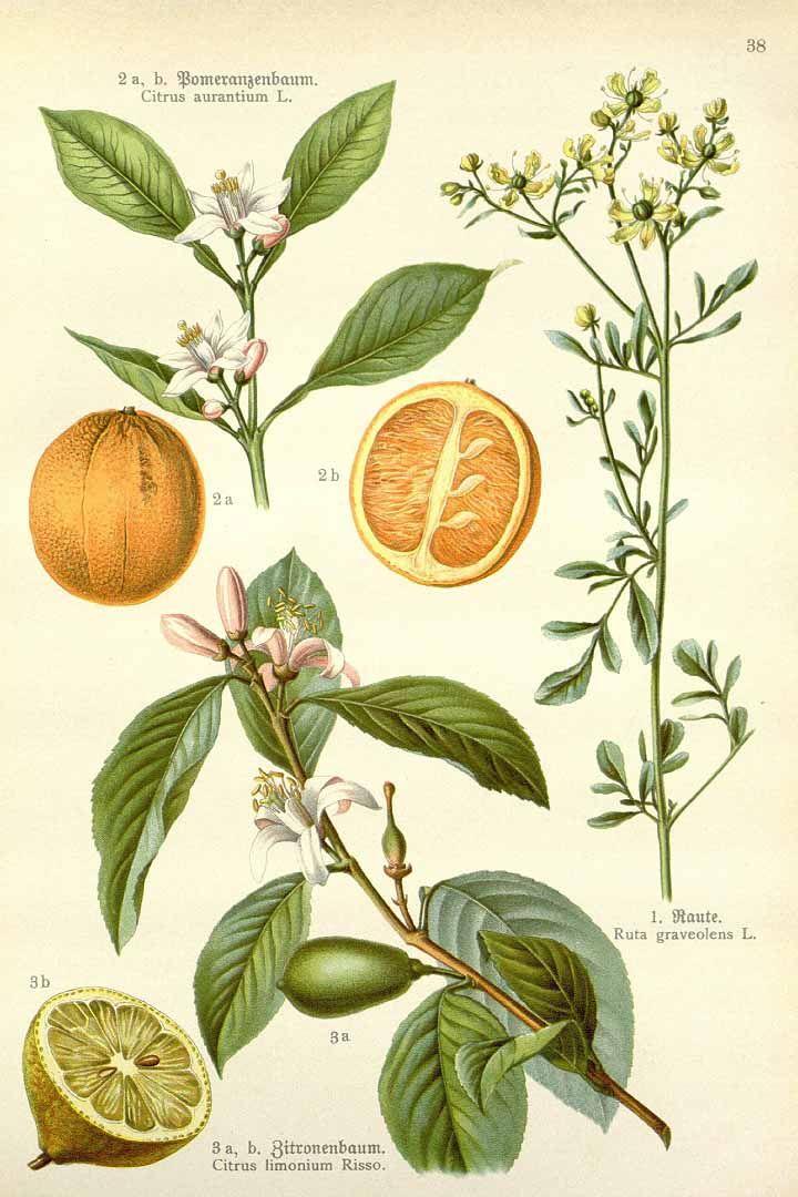 Citrus limon (L.) Osbeck, Citrus aurantium L., Rut…