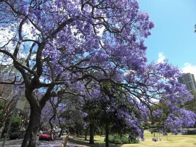 ★★ジャカランダ並木のお花見 at Milsons Park in Sydney 2012★★ (シドニー) - 旅行のクチコミサイト フォートラベル