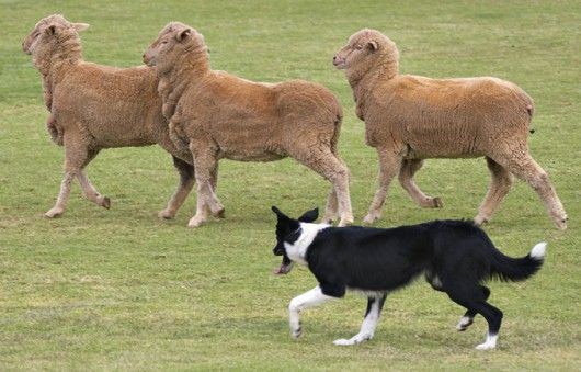 O Border Collie é originário dos cães nórdicos de Rennes (Escócia), no período das invasões vikings. O seu nome vem dos vales escoceses dos Border, entre a Escócia e a Inglaterra, onde a raça se desenvolveu graças aos pastores.   O padrão da raça Border Collie foi reconhecido em 1976 pelo Kennel Club.   Desde os primórdios esse cão foi usado como um excelente guardião de rebanhos, tanto em seu país de origem como no exterior.