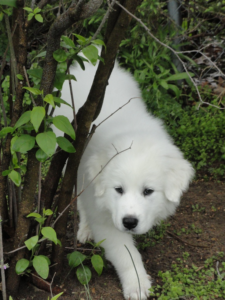 Great Pyrenees Puppy 'Thunder', 9 weeks