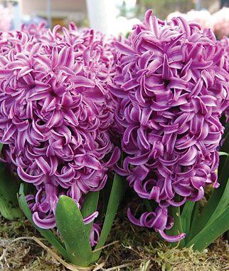 Purple Sensation Hyacinth Bulbs.  Full to part sun.  Perennial.