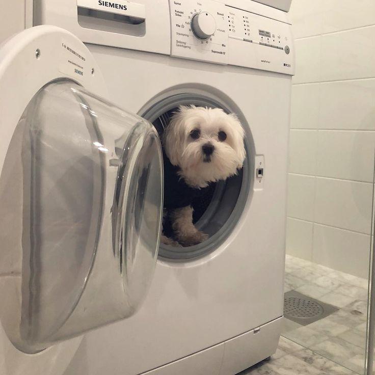 How did I end up in here?  . . . . . . . . . . . . . . #dog #hund #malteser #maltese #dogsofinstagram #pets #stockholm #sweden #9gagcute #pets #petsagram #worldofcutepets