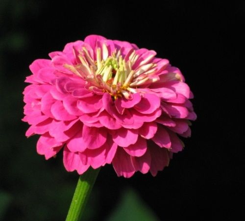 Zinnia flower photo by Bev Wagar.