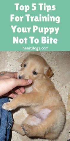 Check out this helpful tips if you're experiencing puppy biting. @KaufmannsPuppy