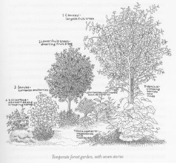 "Forest Gardening is based on a seven tiered system that mimics the natural tiers of the forest, creating a self-sustaining environment. The diagram to the left represents this system. The tallest layer of growth is the canopy, which contains standard or dwarfed fruit trees. These trees help to ""self-water"" the entire garden because their deep roots reach far into the earth and tap the spring veins, pumping the water from these depths up towards the roots of the smaller plants"