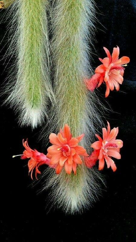 Este original y decorativo cactus es oriundo de América del Sur, concretamente de Bolivia. Sus ramas crecen hasta 1 metro de longitud y tienen tendencia a colgar de la maceta. Al estar recubiertas de finas espinas que asemejan pelo tiene un claro parecido a las colas de los monos. Su nombre científico también hace referencia a dicho parecido, Hildewintera colademononis. M.G.