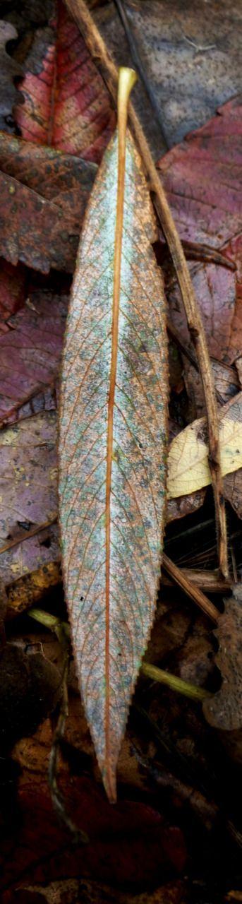laurajwryan:  A Willow Leaf, 10/22/2011