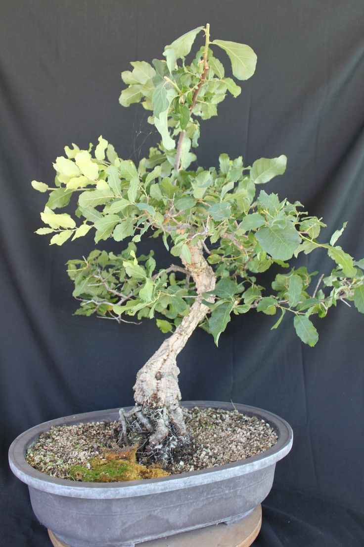 1000 Images About Beautiful Bonsai On Pinterest