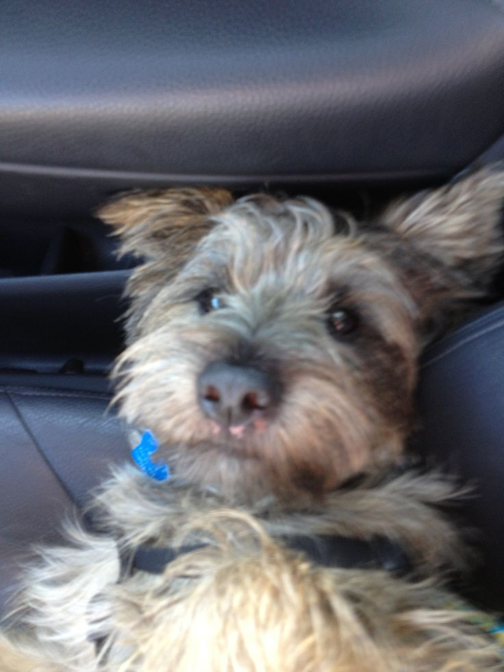 Doolittle An Adorable 1 Year Old Cairn Terrier Available