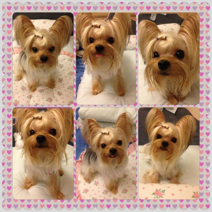 yorkie face trim 254 best biewer yorkshire terrier images on pinterest 3966