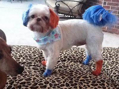 Shelby's Pet Styles  A patriotic Shih Tzu.