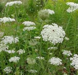 Queen Anne's Lace is a wildflower that symbolizes protection. Sometimes used in wedding bouquets as a filler