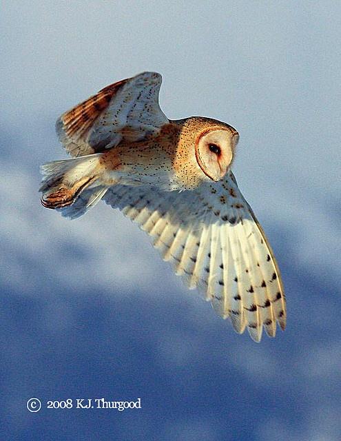 Barn Owl (4) by KJ Thurgood by kjthurgood, via Flickr