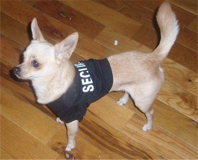 38 Best Images About Corgi Chihuahua Mix Puppies On