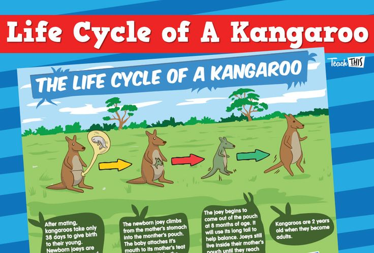 Kangaroo Life Cycle | Thematic Resources | Life cycles
