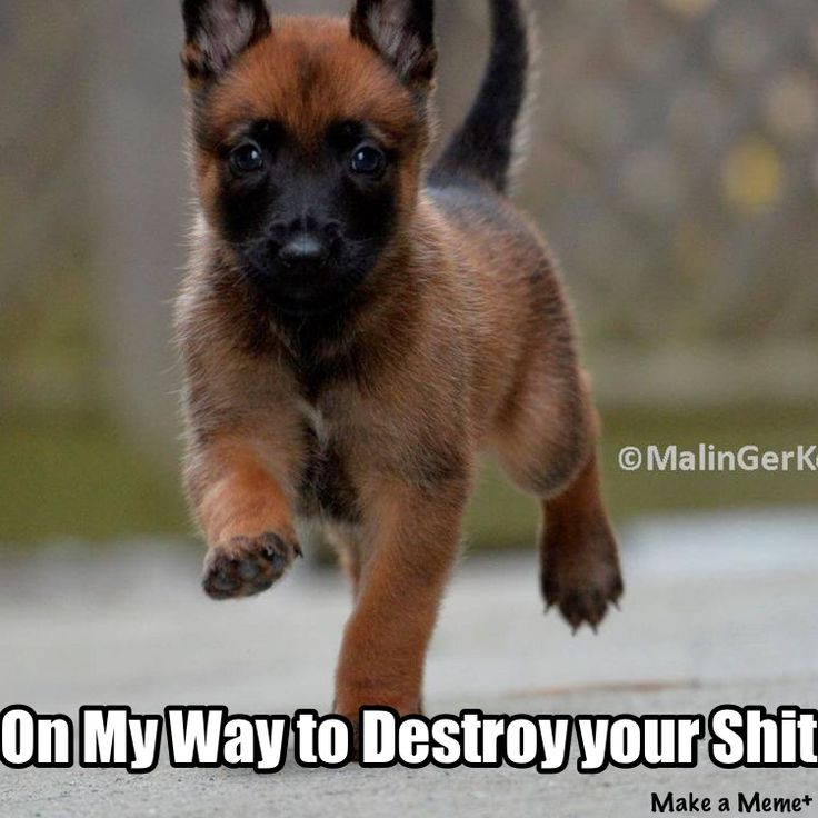 93367b7d7673588ab054a8bc4b218249 this meme malinois 884 best malinois images on pinterest belgian shepherd, german