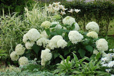 Pallohortensia, viiruhelpi, valkoinen lilja